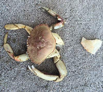 Frankenstein Crab